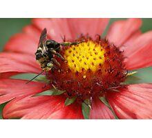 Bee on Firewheel Photographic Print