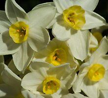 Daffodil Garden by crystalseye