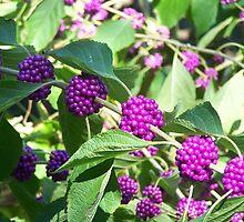 beautyberry by tamarama