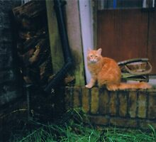 Ginger cat watching a spider by Holly Burns