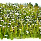 Field of daisies by PhotosByHealy