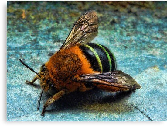 """""""Bumble Bee"""" by debsphotos"""