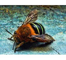 """Bumble Bee"" Photographic Print"