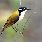 White-throated Honeyeater taken Katherine NT. by Alwyn Simple