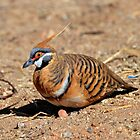 Spinifex Pigeon taken West MacDonnell Ranges at Ormiston Gorge by Alwyn Simple