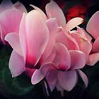 Cyclamen by rasim1