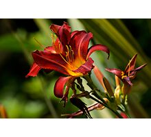 Hemerocallis 'Red Precious' Photographic Print