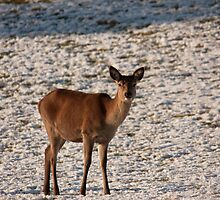 Red Deer hind by Jon Lees