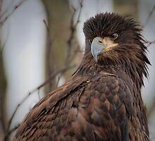 Juvenile Bald Eagle by David Friederich