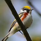 Chestnut-sided Warbler by naturalnomad