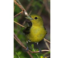 Scarlet Tanager Female Photographic Print
