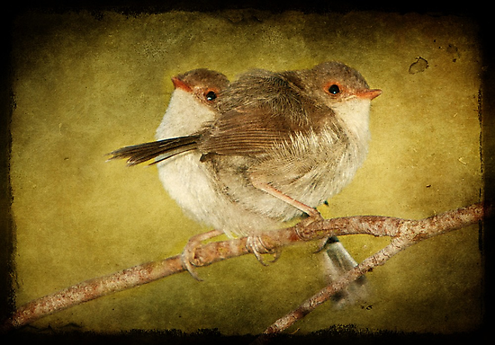 Baby Fairy Wrens #2 by Barb Leopold