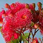 "Eucalyptus ""Summer Red"" (2) by Margaret  Hyde"
