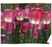Translucent Tulips - Let the sun shine through Poster