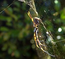 Golden Orb spider by cado