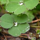 Clovers after Rain by Pandrot