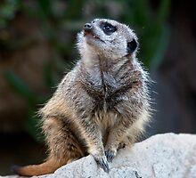 Meerkat by zzsuzsa