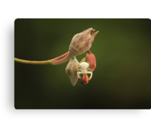 A White Crab Spider eating a Harlequin Beetle Canvas Print