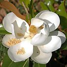 Magnolia No 3 by eruthart