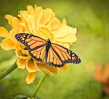 Monarch On Zinnia 5-2015 by Thomas Young