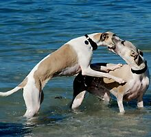 Whippets at Play by Richard Shakenovsky