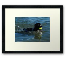 Boarder Collie Swimming To Shore Framed Print