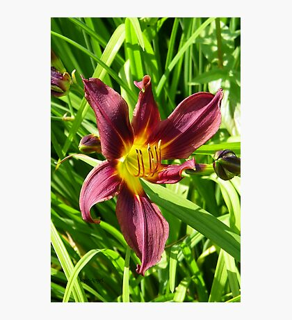 Burgundy lily Photographic Print
