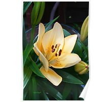 Pale Peach Lily Poster
