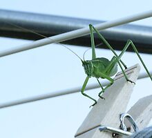 Green Grasshopper On Clothesline With Clothespin by Lisa Diamond