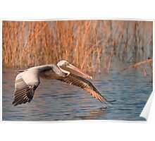 Brown Pelican Flying Away Poster