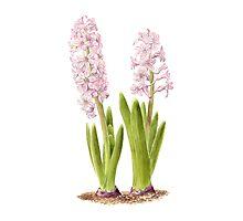 Hyacinths Photographic Print