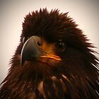 Young Bald Eagle ll by Gail Bridger