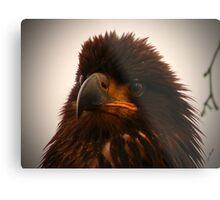 Young Bald Eagle ll Metal Print