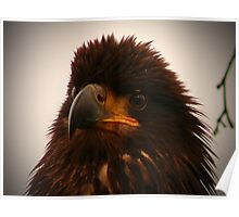 Young Bald Eagle ll Poster