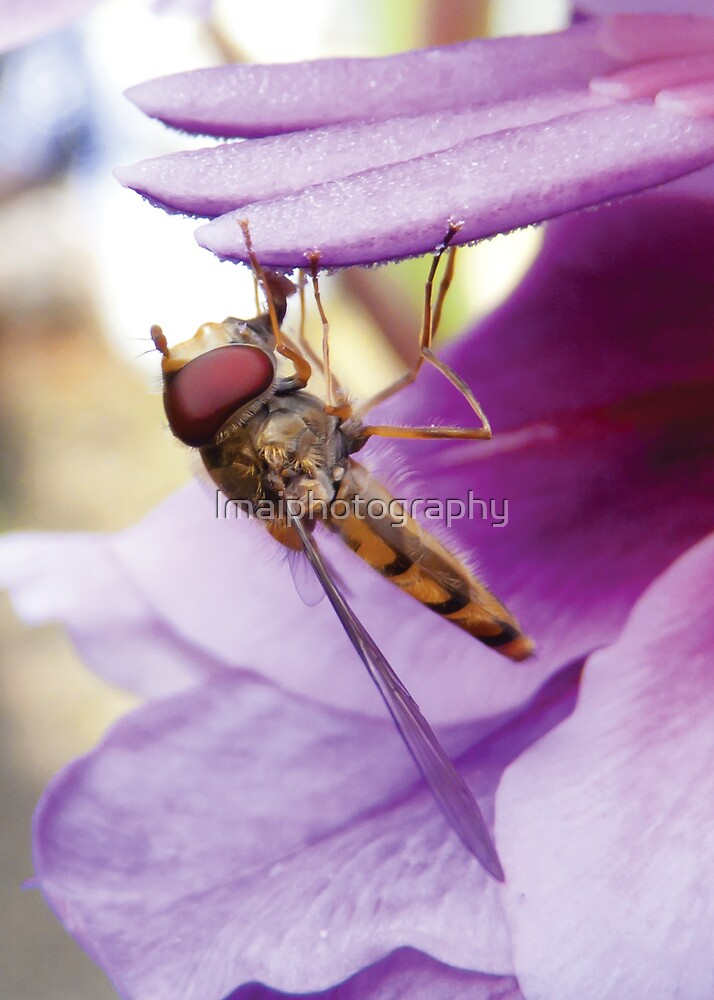 Marmalade Hoverfly (Episyrphus Balteatus) by lmaiphotography