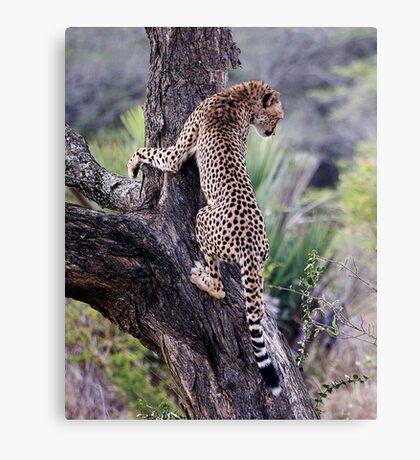 Cheetah Up Tree Canvas Print