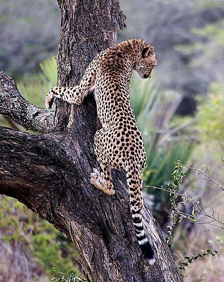 Cheetah Up Tree by Michael  Moss