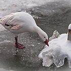 'Duck' ... it's cold out! by Wanda Dumas