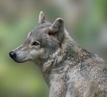 The Beautiful Gray Wolf by Sandy Keeton