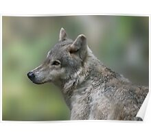 The Beautiful Gray Wolf Poster