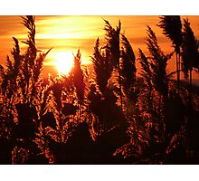 Glowing Reeds Photographic Print