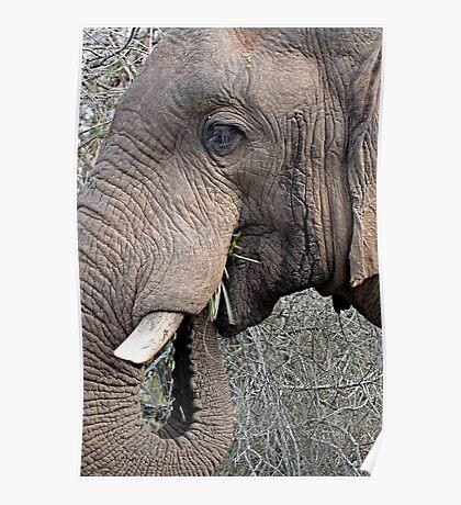 Bull Elephant In Musth Poster
