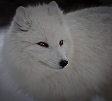 Snowy White Fox by Wanda Dumas