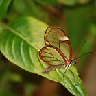 Glasswing Butterfly (Costa Rican) by Sherry Pundt