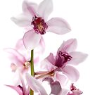 White and pink orchids by homydesign