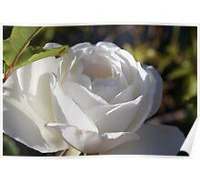White Rose in the Garden Poster
