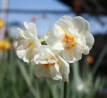 Paperwhite Daffodils in Early Spring by destinydai