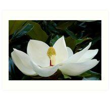 Magnolia.... Art Print