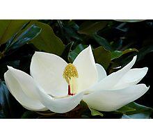 Magnolia.... Photographic Print