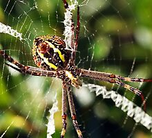 St Andrew's Cross Spider (Argiope keyserlingi) by Bev Pascoe